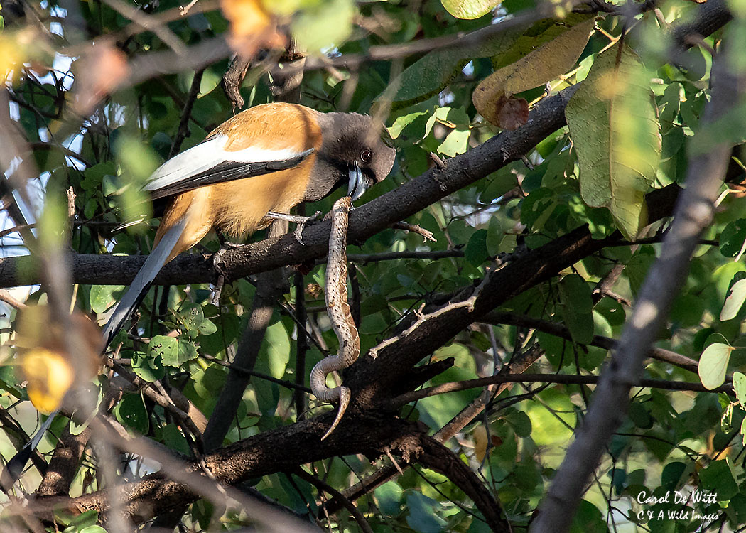 Rufous Treepie eating snake