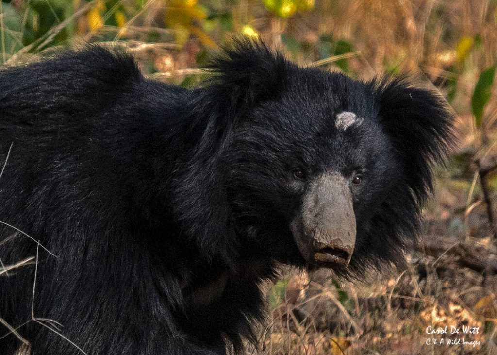 Sloth Bear near the Churna camp