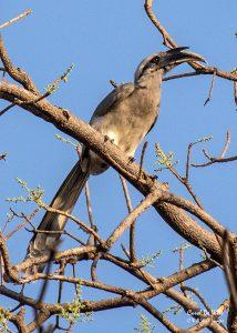 Indian Grey-hornbill