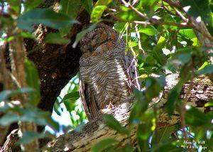 Mottled Wood Owl