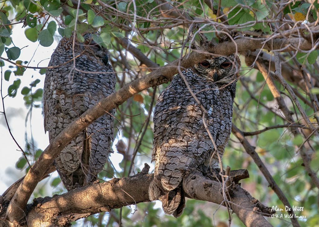 Pair of Mottled Wood Owls