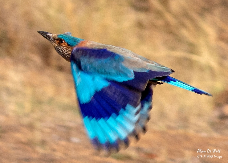 Indian Roller in Satpura Tiger Reserve