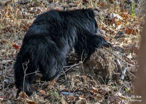 Sloth Bear in Satpura National Park