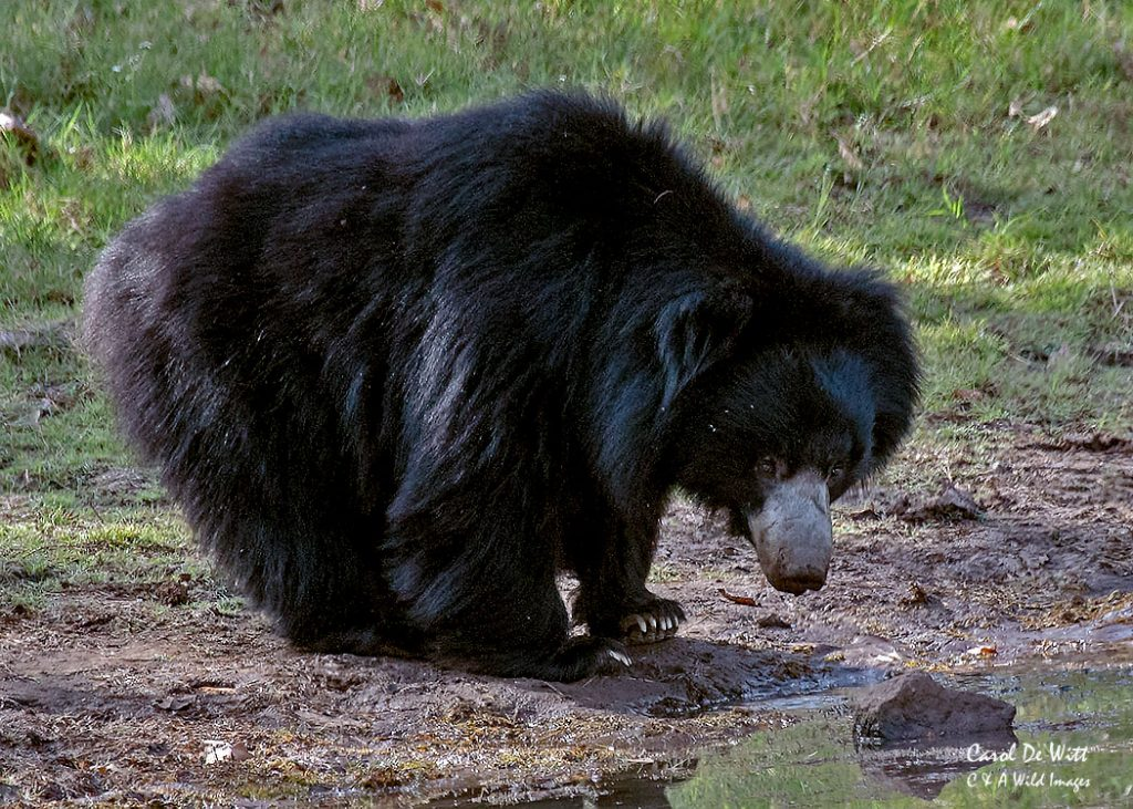 Sloth Bear in Satpura National Park