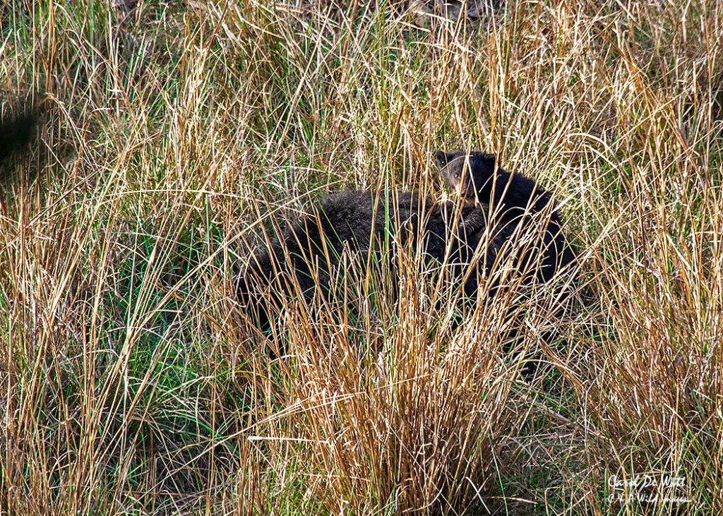 Sloth bear and cub emerging from the reeds