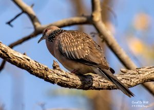 Spotted Dove in Satpura National Park