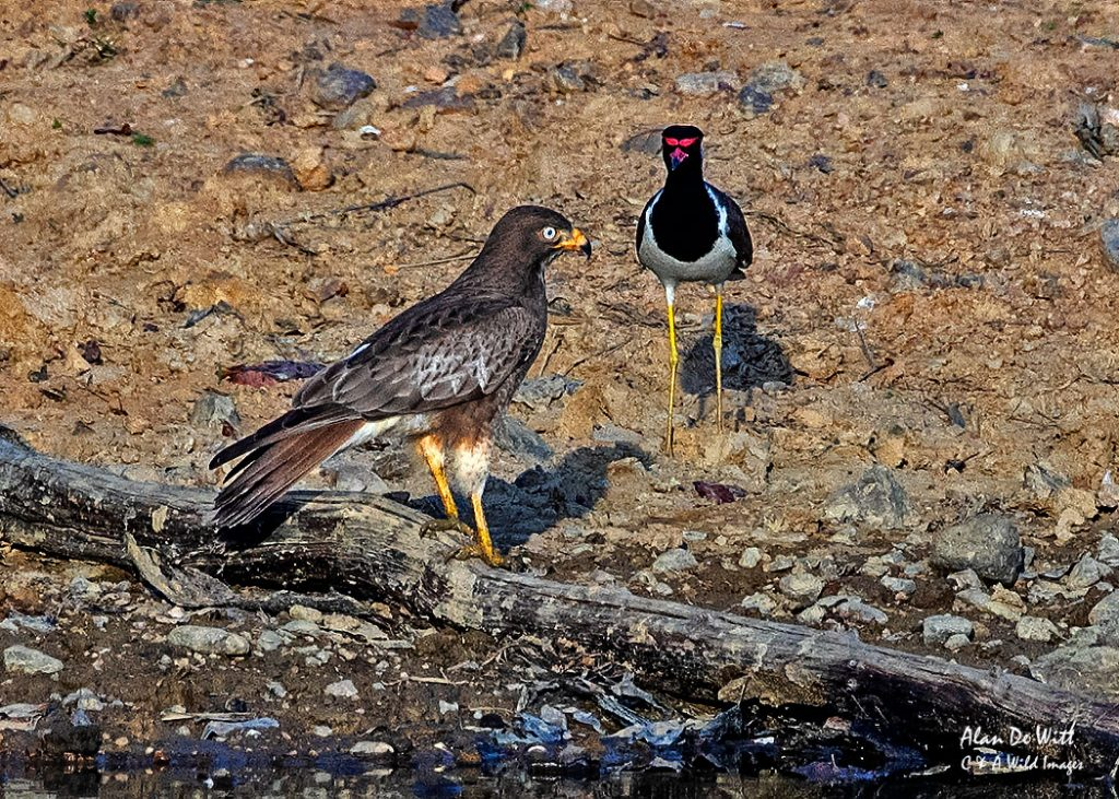 White-eyed Buzzardbeing harassed by a Red-wattled Lapwing in buffer zone