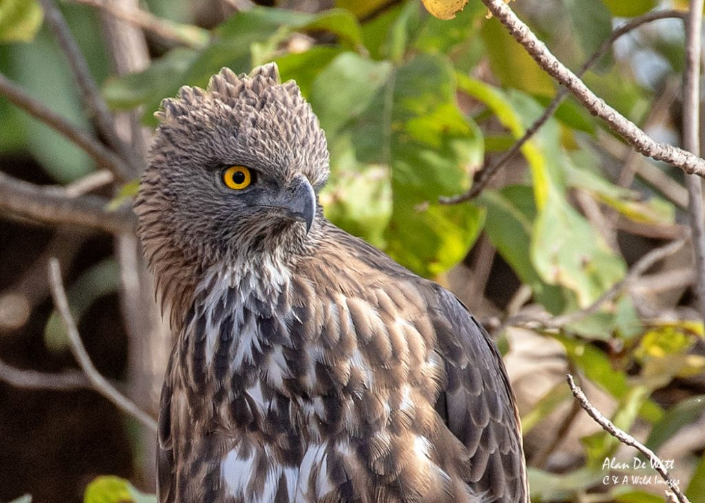 Changeable hawk-eagle or Crested hawk-eagle