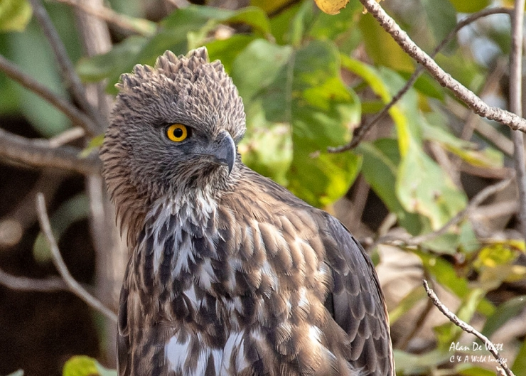 Changeable Hawk Eagle in Satpura Tiger Reserve