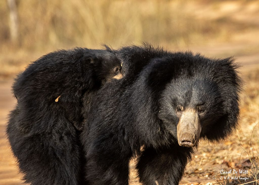 Young Sloth bear cub hitching a ride on its mother's back