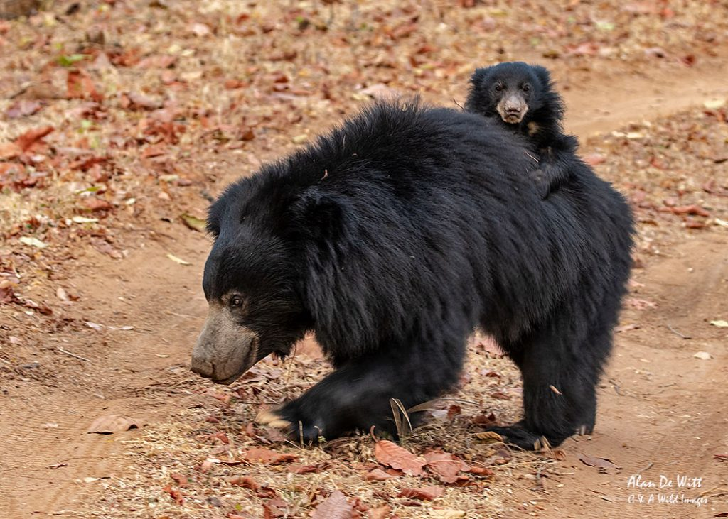 Sloth Bear and Cub