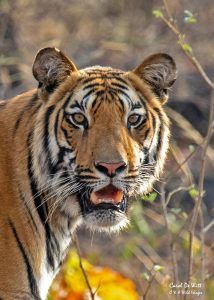 Male Tiger in Satpura National Park