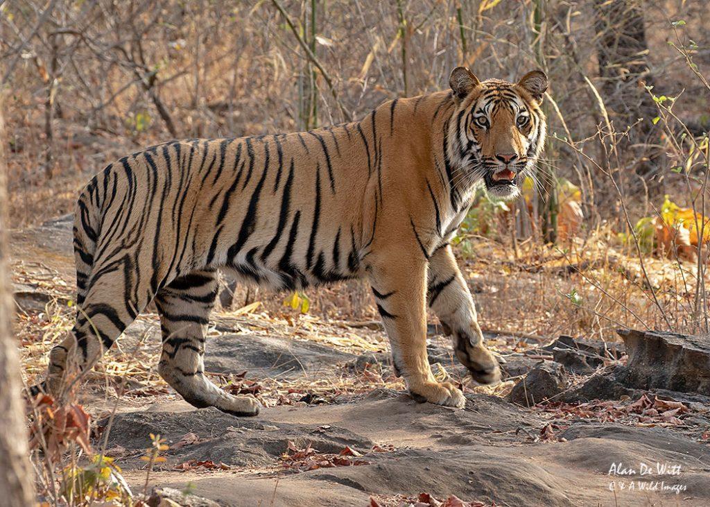 Bengal Tiger in Satpura