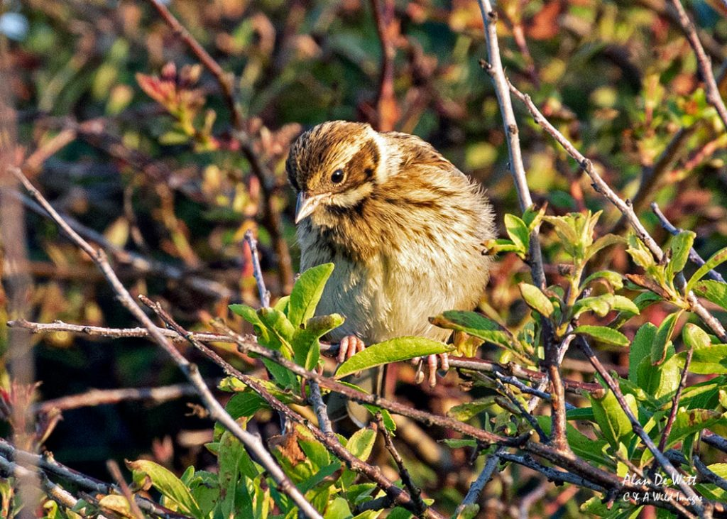 Corn Bunting at RSPB Bempton Cliffs