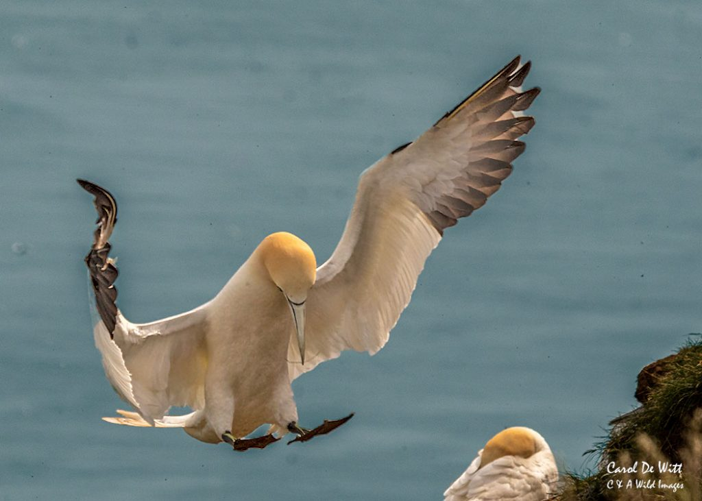 Gannet Landing at Bempton Cliffs