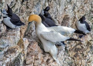 Gannet at Yorkshires Bempton