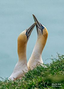 Gannet Bonding Display at RSPB Bempton Cliffs