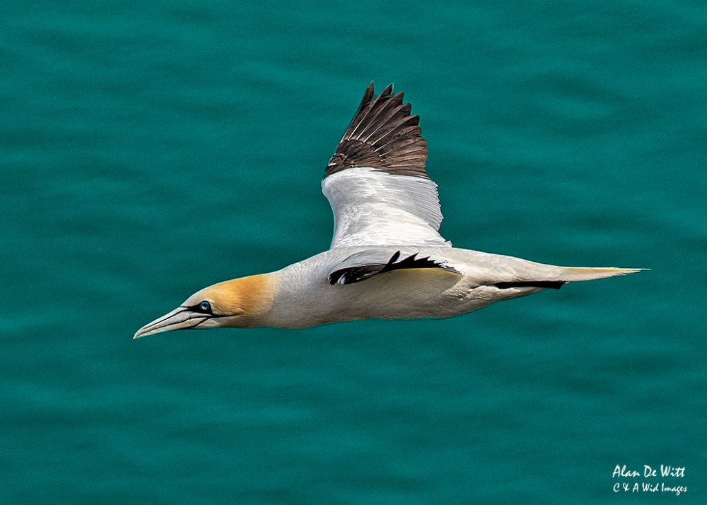 Gannet in flight at RSPB Bempton Cliffs