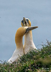 Gannets Greeting Display at RSPB Bempton Cliffs