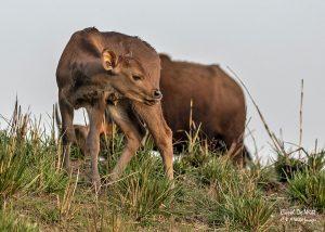 Gaur calf