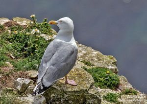 Herring Gull at RSPB Bempton Cliffs