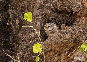 East Buffer Zone Jungle Owlet