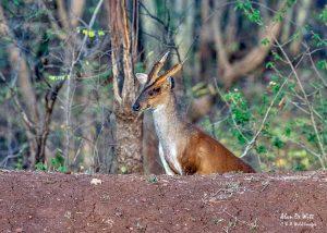 Male Indian Muntjac Deer