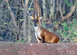 """Muntjac"" means ""small deer"""