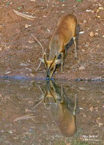 Indian Muntjac or Mastreani deer