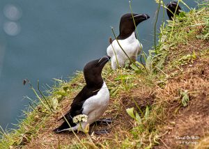 Razorbillls at RSPB Bempton Cliff