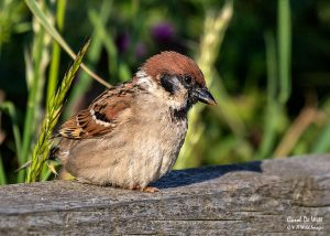 Tree Sparrow at RSPB Bempton Cliffs