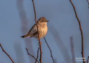 Whitethroat at RSPB Bempton Cliffs