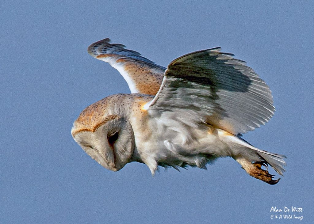 Barn Owl hunting at Bempton Cliffs