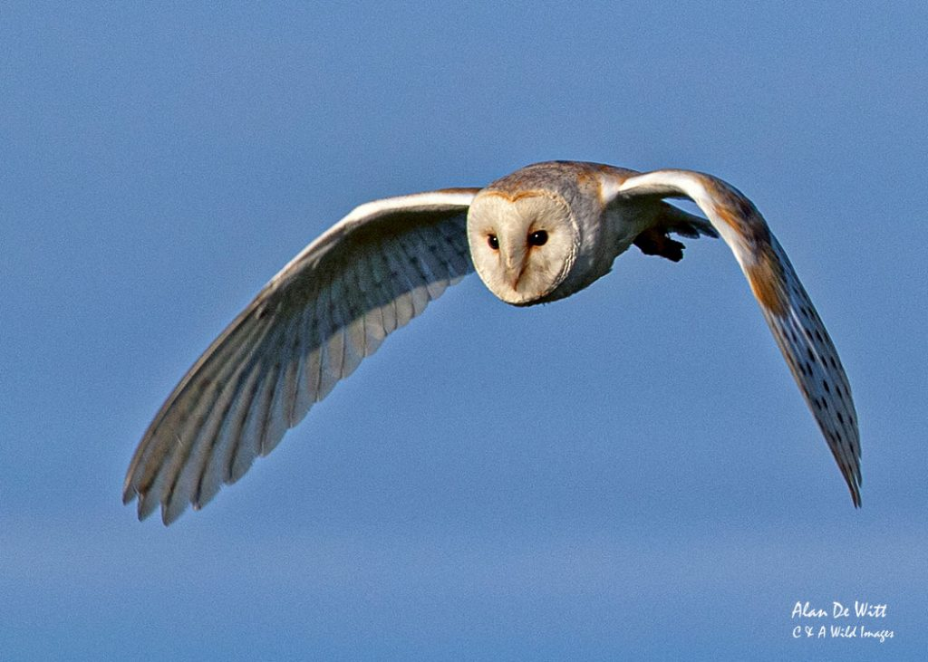 Barn Owl hunting at Bempton