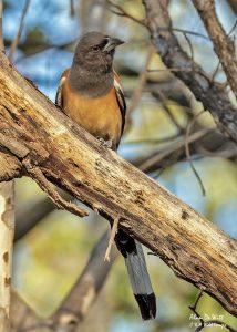 Rufous Treepie in Satpur's East Buffer Zone