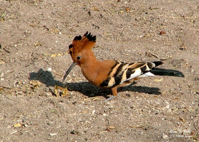 African Hoopoe in Etosha National Park