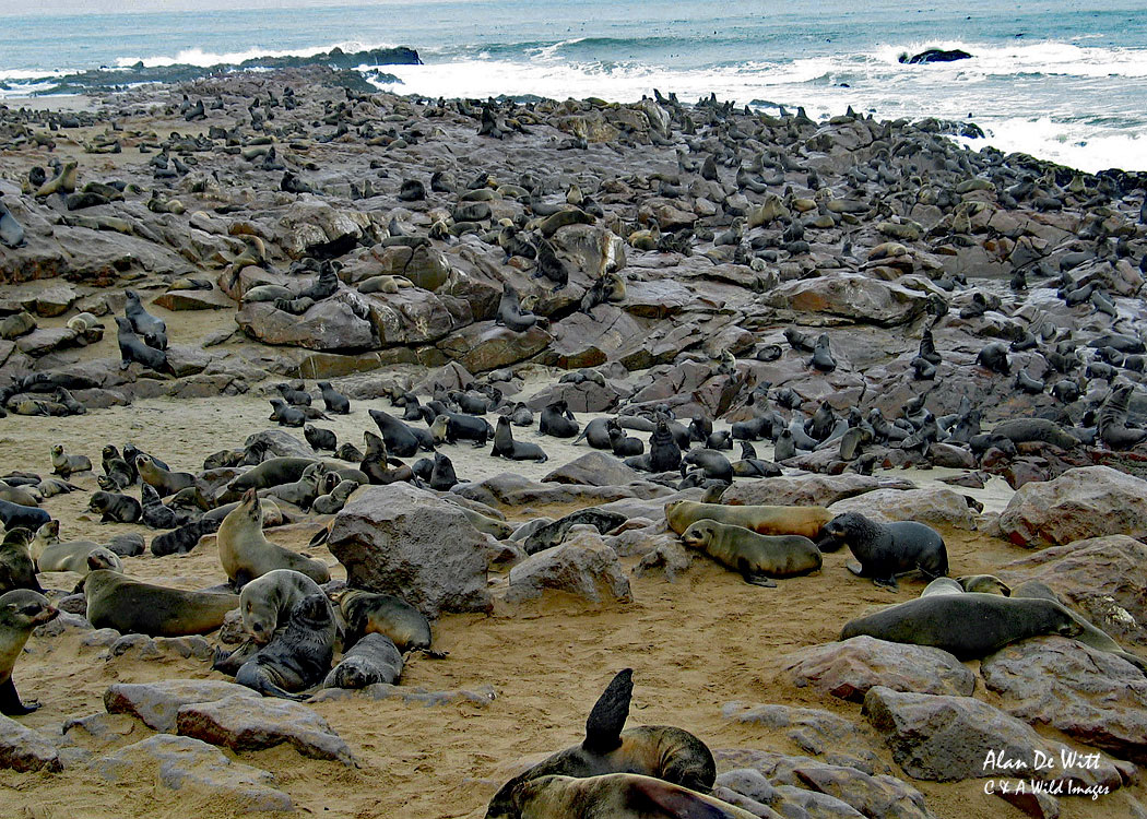 Cape Fur Seal colony at Cape Cross, Skeleton Coast, Namibia