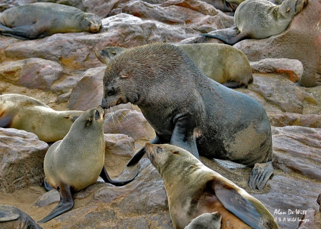 Bull Cape Fur Seal
