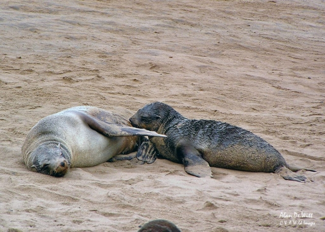Cape Fur Seal mother feeding pup