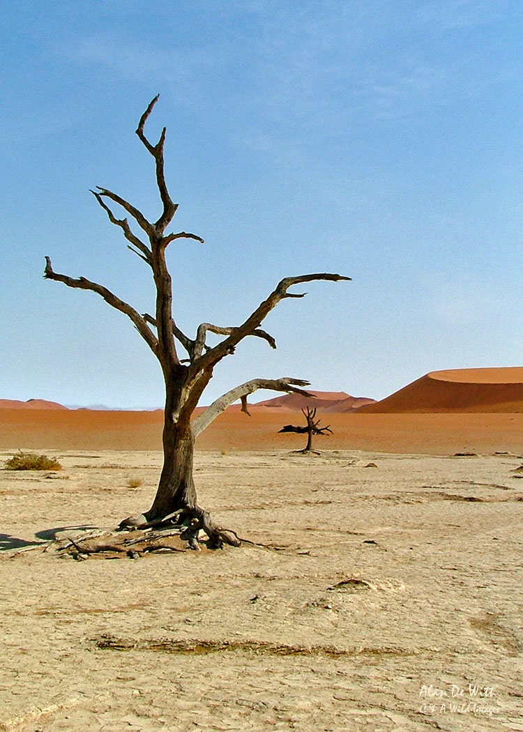 The Skeleton Trees in the Sand Dunnes at Sossusvlei