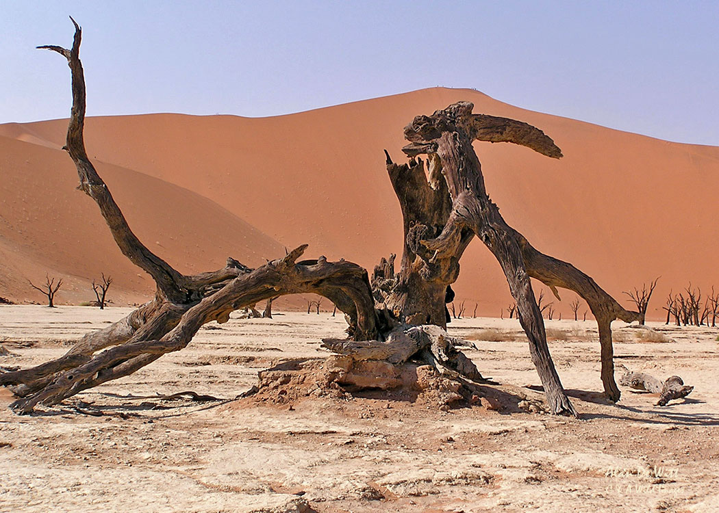 The Skeleton Trees in the  Dunnes at Sossusvlei