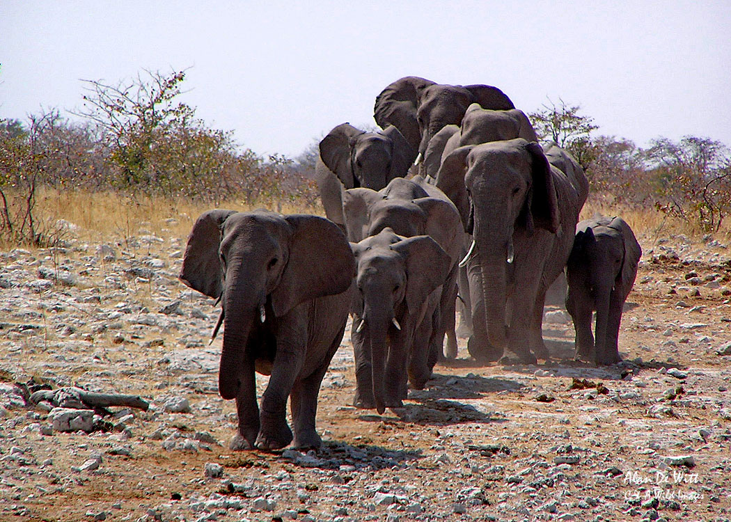 Elephants coming down to a waterhole