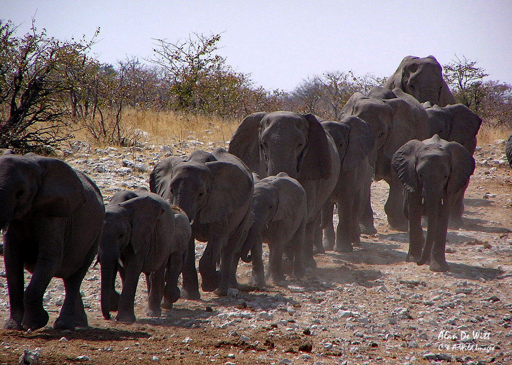 Line of Elephants coming down to a waterhole
