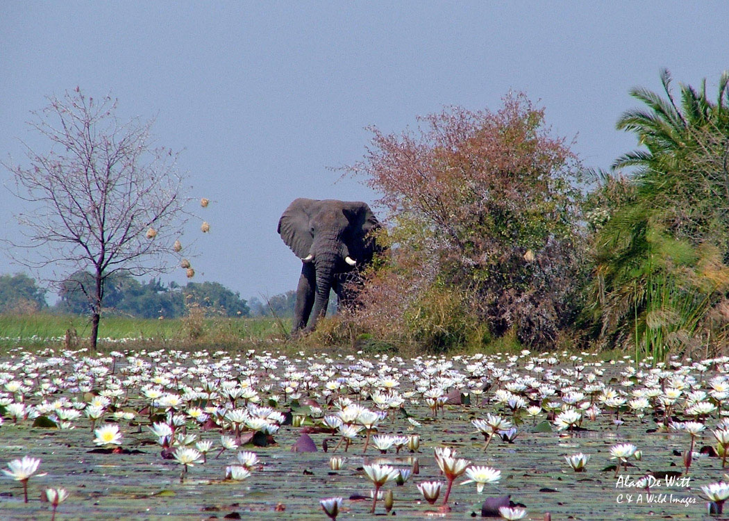 Elephant on Island in the Okavango Delta
