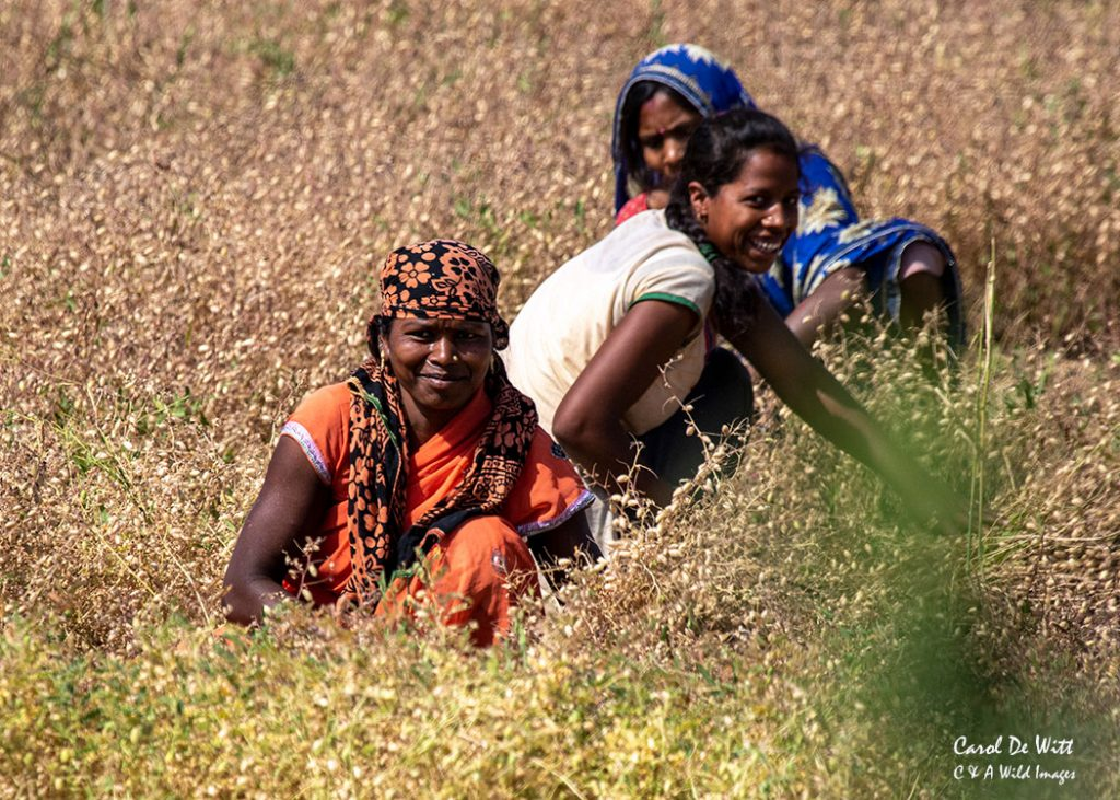Group of Indian women harvesting chick peas