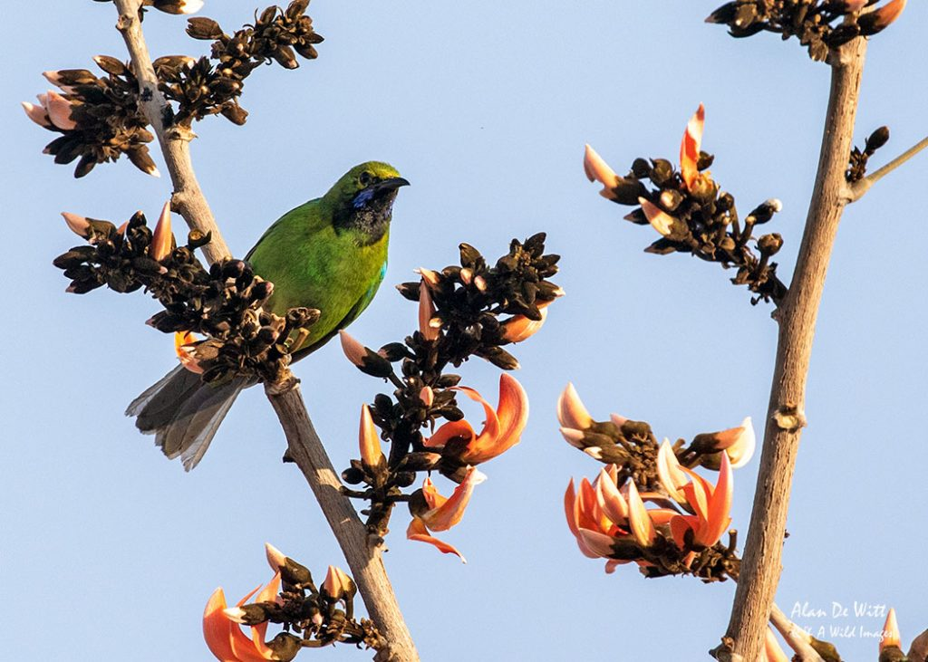 Jerdons Leafbird in Satpura NP