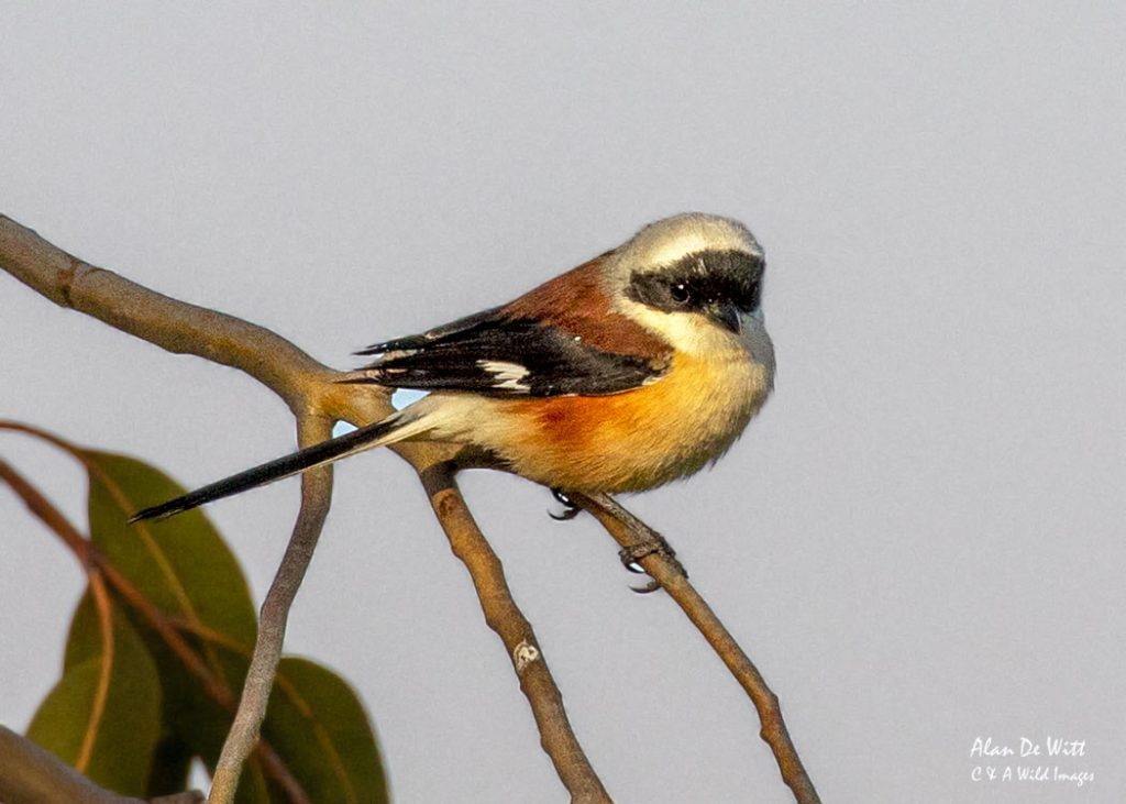 Long Tailed Shrike in Satpura NP