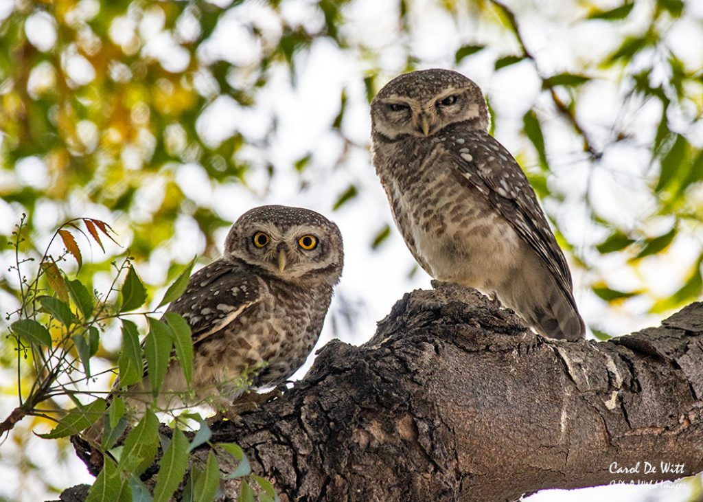 Pair of Spotted Owlet in Satpura NP
