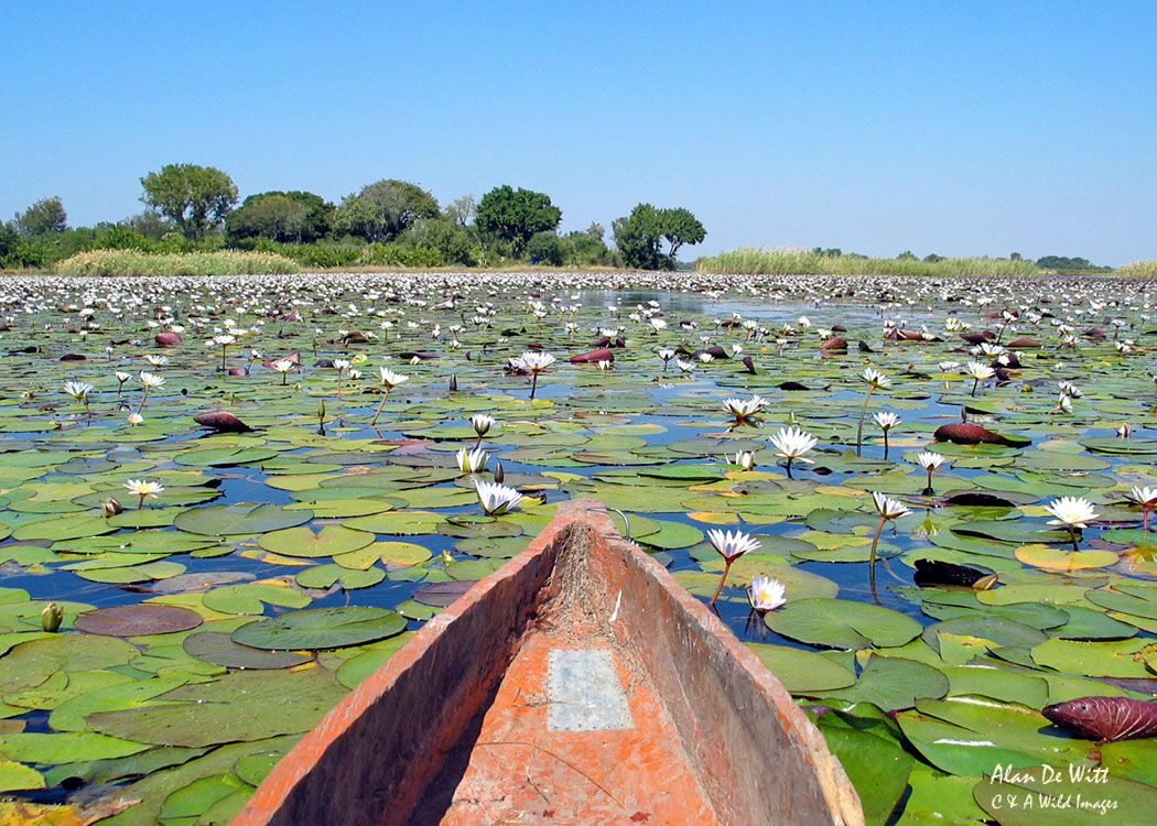 Water lilies in Okavango Delta, Botswana