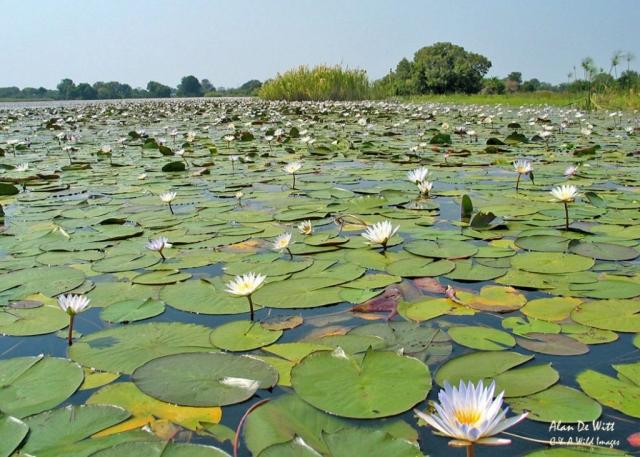 Okavango Water lilies